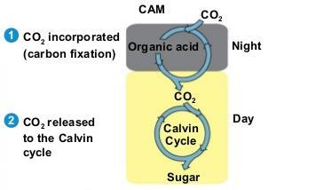CAM plants => crassulacean acid metabolism => open their stomata during the night and close them during the day.